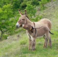 Mother and baby donkey Baby Donkey, Cute Donkey, Mini Donkey, Baby Cows, Baby Elephants, Elephant Baby, Cute Baby Animals, Farm Animals, Animals And Pets