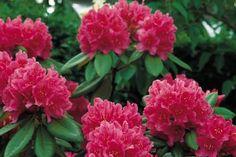 Rhododendron      Alle Rhododendron soorten die Haagplantenkopen.be aanbiedt zijn wintergroene soorten. Alle soorten zijn voor u geselecteerd op heldere bloemkleuren, en uiteraard is het mogelijk verschillende soorten te combineren.