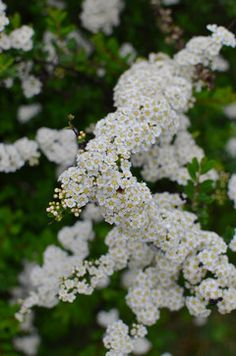 Spiraea is a great choice for a white spring bloomer. It conveniently blooms at the same time as tall white iris and midsize white peonies.
