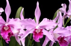 C. Pulcherrima 'Beach Valley Girl' BM/JOGA (C.purpurata × C.lobata) カトレア プルチェリマ ' ビーチ バレー ガール'