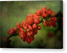 Spring Blossom: A branch of Blossoming Red Chaenomeles Japonica flowers, enhanced with a beautiful Green Fine Art texture, is the subject of this artwork. Elegant, Romantic, with a classy feeling of Nostalgic Vintage. Available on a variety of Wall Art Products. Golden Yellow Color, Green Colors, Chaenomeles, Canvas Art For Sale, Flower Canvas, Spring Blossom, Beautiful Textures, Texture Art, Stretched Canvas Prints