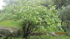 Marmeleiro em flor - Na Colhereira de Baixo.