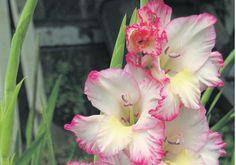 August Birth Flower Gladiolus August Birth Flower, Birth Month Flowers, Flower Images, Flower Pictures, August Month, November, Hello August Images, Birth Flower Tattoos, August Calendar