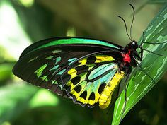 a stunning example of nature's best work: Ornithoptera priamus euphorion