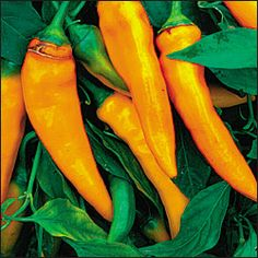"""Tequila Sunrise Peppers. Ornamental pepper with delicious mild, sweet fruit; carrot shaped 5"""" long peppers that ripen from deep green to golden-orange."""