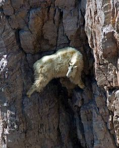 """Do goats have foresight? """"How do I get down?"""""""
