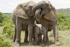 Adopt An Elephant Adopt An Elephant, Happy Elephant, Elephant Family, Asian Elephant, Elephant Love, Elephant Art, Elephant Images, Elephant Gifts, Animals Of The World