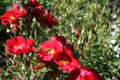 De bijen genieten van onze mooie rozen