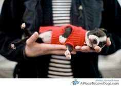 I want the puppy and the red sweater. Boston Terriers look great in red.