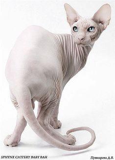 sphynx cat Dallas- sphynx cattery Baby-Rah #catmeow - Catsincare.com! #SphynxCat