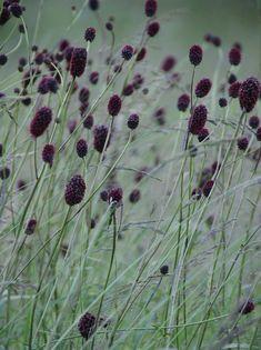 Perennials Sanguisorba officinalis 'Arnhem', gardening, texture, landscaping, landscape design a> Black Garden, Purple Garden, Plant Design, Garden Design, Beautiful Gardens, Beautiful Flowers, Black Flowers, Ornamental Grasses, Plantation