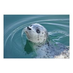 Harbor Seal Posters