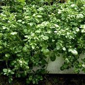 Cresson de fontaine - plante vivace - sol très humide