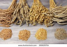 wheat, rye, oat, spelt - stock photo