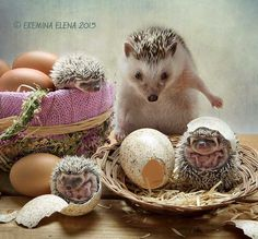 Birthday. I think hedgehogs are born that way. Another way it is hard to imagine.