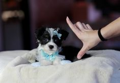 <3<3<3 Dasher the Maltese/Chihuahua Mix FOR SALE! <3<3<3 954-353-7864 www.teacuppuppiesstore.com #malchi #maltese #chihuahua #mixed #toy #teacup #micro #pocketbook #teacuppuppies #teacuppuppiesstore #tiny #teacuppuppiesforsale #small #little #florida #miami #fortlauderdale #bocaraton #westpalmbeach #southflorida #miamibeach #cute #adorable #puppy #puppiesforsale #puppylove #unique #mini #miniature #yorkie #pomeranian #poodle