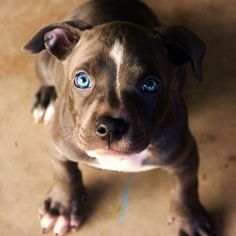 """blue nose pit bull puppy """"Bella"""", But more like blue eyed beauty.. :)"""