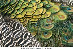 peacock neck feathers - Buscar con Google