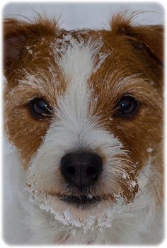 Holly the Wired Hair Jack Russell. by CWhatPhotos, via Flickr