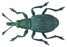 Melanapion minimum Sallow Guest Weevil Beetles, World, Insects