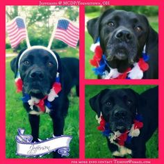 """""""JEFFERSON"""" (sweet friendy fella) is all decked out in his patriotic garb for the 4th in hopes of finding his new family to celebrate with!!!! PLEASE COME DOWN & MEET THIS LOVABLE GUY SOON!!!!! MAHONING ADOPTION CENTER Youngstown, Ohio.... https://www.petfinder.com/petdetail/29620206/"""