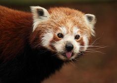 Red pandas have always lived in the shadow of the other, more famous panda. It's time to give the little guy its due.  12 Furry Facts About Red Pandas | Mental Floss