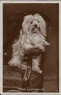 MALTESE REAL PHOTOGRAPHIC DOG POSTCARD