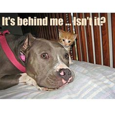 Yes,  yes he is... My pittie Zoie with our new kitten Leon...