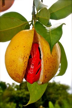 Nutmeg Fruit , buah pala http://www.pinterest.com/janebeaumarches/ingredients/