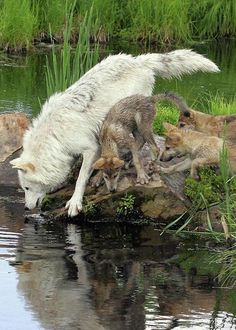 "beautiful-wildlife: ""Timber Wolf with Pups by © Herbert Fields "" Beautiful Wolves, Animals Beautiful, Beautiful Creatures, Cute Animals, Animals Images, Wolf Spirit, My Spirit Animal, Wolf Pictures, Animal Pictures"