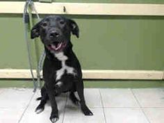 #A4783122 I'm an approximately 1 year old female pit bull and Labrador retreiver I am not yet spayed. I have been at the Carson Animal Care Center since December 9, 2014. I will be available on December 13, 2014. You can visit me at my temporary home at C219.    Carson Shelter, Gardena, California...  https://www.facebook.com/171850219654287/photos/pb.171850219654287.-2207520000.1418338323./342901809215793/?type=3&theater