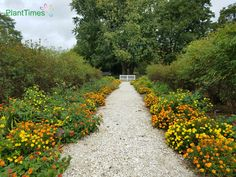 Summer garden on either sides of a pathway at Colonial Williamsburg.