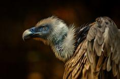 beauty of volture by Detlef Knapp, via 500px