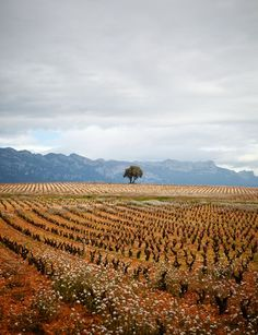Vega Sicilia #vineyards in #Rioja