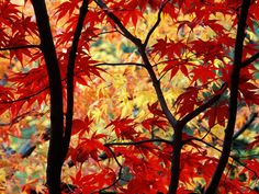Japanese Maple Tree Picture, Beautiful Photo of Japanese Maple Tree Leaves in the Fall