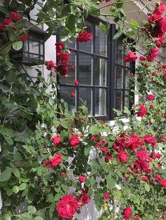 Cape Neddick Red Roses around kitchen window Cape Neddick, Fine Gardening, Red Roses, Outdoor Structures, Windows, World, Kitchen, Cooking, Window