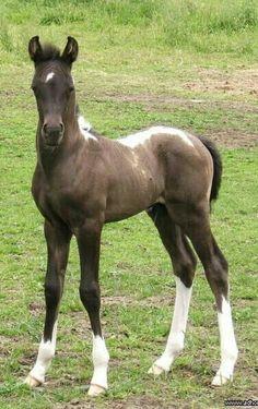 Apache Smoke Signal, cute foal with flashy color.