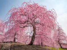 *🇯🇵 Weeping cherry tree in full bloom (Japan) by Ryusuke Komori on 🌺 Cherry Blossom Tree, Blossom Trees, Beautiful Nature Wallpaper, Beautiful Flowers, Cherry Tree Tattoos, Weeping Cherry Tree, Japanese Plum, Hanging Flowers, Tree Sculpture