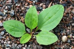 Bladen kan användas färska och torkade till ettörtte som är bra vid rethosta och luftvägsproblem. Groblad kan också ingå igrytor och annan matlagning tillsammans med andra bladväxter. Grob