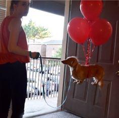 Online deals for dachshund dog supplies Dachshund Funny, Dachshund Puppies, Dachshund Love, Cute Puppies, Cute Dogs, Daschund, Silly Dogs, Funny Dogs, Cute Funny Animals