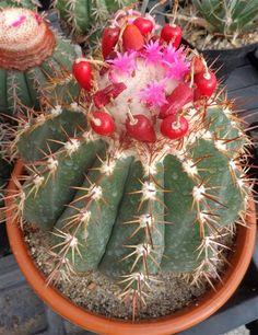 Melocactus caesius