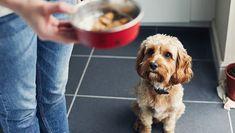 Il semble qu'il y ait trois types de chiens dans ce monde : ceux qui mangent absolument tout, nourriture ou autre ; ceux qui contrôlent très bien les portions et ne mangent consciencieusement que ce que vous leur donnez ; et ceux qui sont totalement...