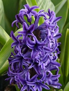 How to grow Hyacinth  http://makinbacon.hubpages.com/hub/howtogrowhyacinthgrowingtips
