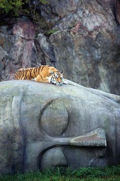 Tiger rests on Buddha head