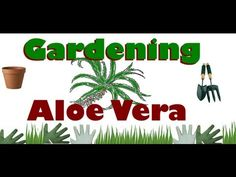 "We all love our aloe vera plants, but so many of us our confused as to how to care for them. This video will address common questions with regards to ""aloe vera plant care"", such as: Indoors versus outdoors ideal locations, Feeding Aloe Vera, Repotting, Replanting Baby Shoots, Watering, Sunlight Exposure, Gardening Gear"