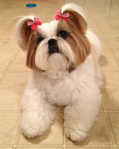 Chloe is modeling her puppy cut hair style and her red gingham Doggie Bow Ties Butterfly Dog Bows!