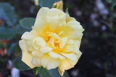 'Allgold' Rose, Flowers, Plants, Pictures, Pink, Plant, Roses, Royal Icing Flowers, Flower