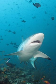 WATCH Terrifying moment shark ATTACKS diver in chilling video is part of Chilling Shark Attacks Diver Video Dailymotion - THE terrifying moment a man was attacked by a shark has been captured in a gruesome video Save The Sharks, Cool Sharks, Cute Shark, Great White Shark, Whale Sharks, Shark Jaws, Shark Pictures, Shark Photos, Real Shark Attacks