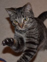 Cheers is an adoptable Tabby - Grey Cat in Troy, MI. Hi! My name is Cheers! I was born July 1, 2011. I am a young, shorthaired brown tabby, neutered male kitty who is looking for someone to love for l...