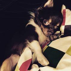 Boo Chihuahua   Pawshake